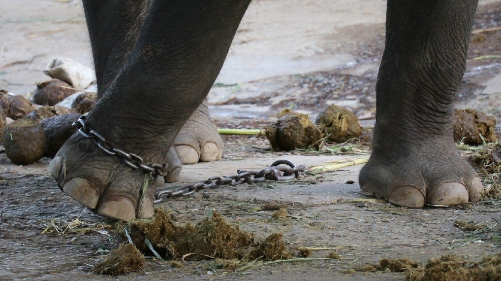 This Is The Extreme Torture Elephants Are Put Through Just So That People Can Ride Them For Fun