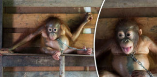 Baby orangutan chained to plank of WOOD on kitchen wall is finally rescued