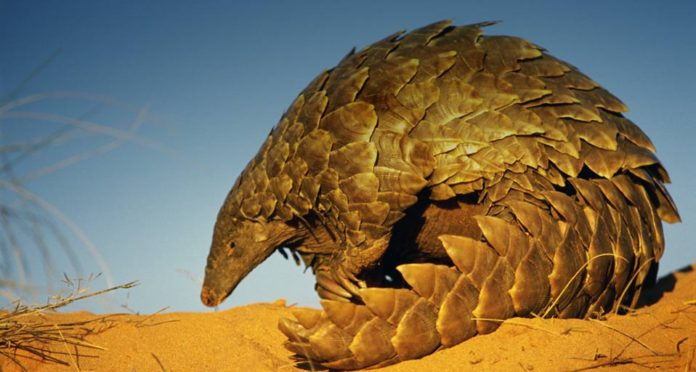 3 tonnes of Pangolin scales seized in China's biggest bust