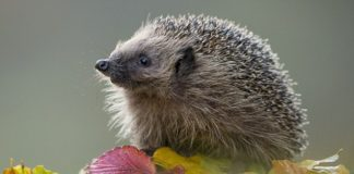 London Hedgehogs to lose out to new high speed HS2 train line - GreenWorldTV