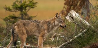 Norway pulls plug on wolf cull