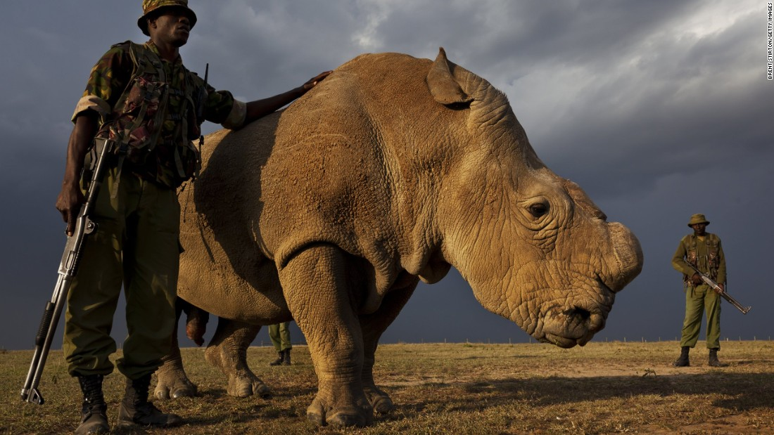 Sudan - the last Northern White Rhino Male in the World