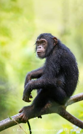 Chimpanzee by Keith Connelly