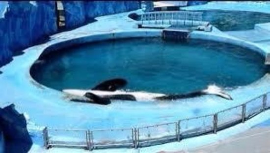 Orcas are often kept in tiny pools like this one where as in the wild they can swim 100km in one day