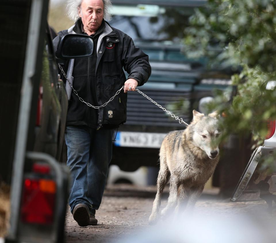 Torak is safely led to a van after being captured by The Wolf Conservation Trust staff