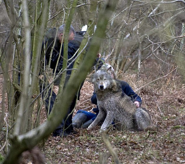Toraq is safely captured by Tsa Palmer, founder of The Wolf Conservation Trust in woodland