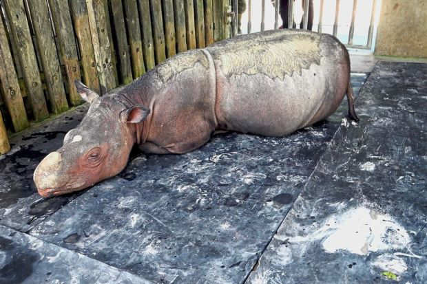 Iman, the last female Sumatran Rhino has been sick for months from a ruptured tumour
