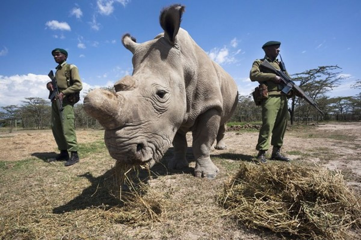 Sudan spent most of his final years under heavy armed guard at Ol Pejeta
